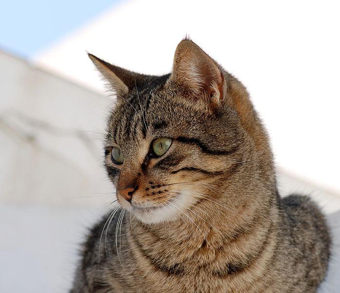 Joe-Tabby-Cat